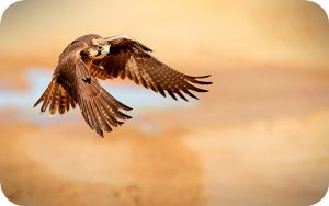Falcon Meaning In Tarot